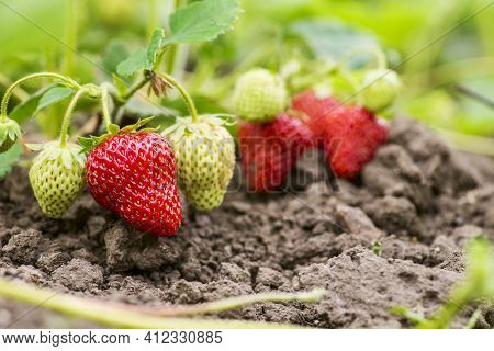 Strawberry Plant. Strawberry Bush. Strawberries Are Growing At Garden.