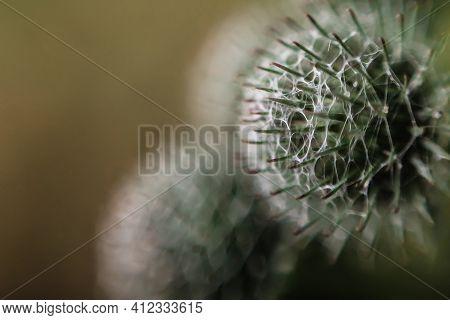 Defocus Globe Gray Thistle Flowers Grass Wild On Yellow Background. Globe-thistle Flower. Coronaviru