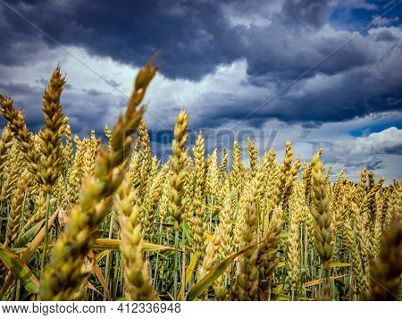 Golden spikelets of ripe wheat in the field