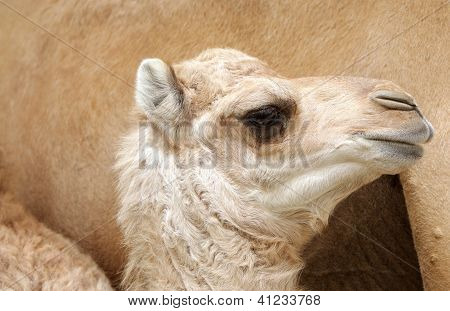 Side view of beautiful camel calf