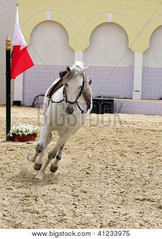 A white stallion performing in sand arena