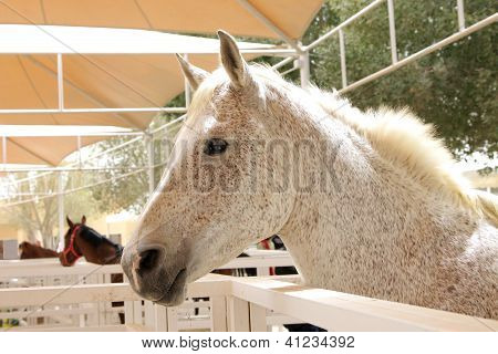 A spotted arabian horse