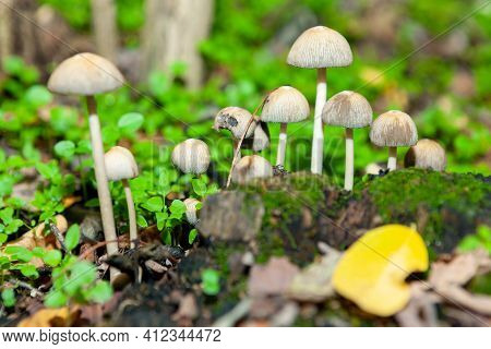 Uncultivated Mushrooms Growing In The Green Forest