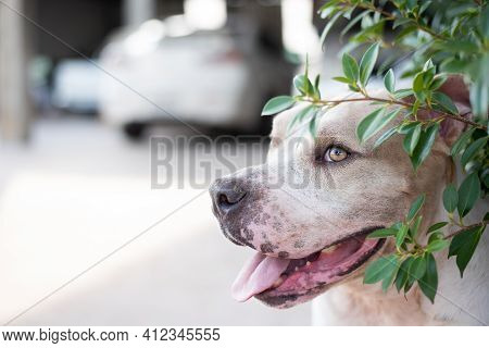 Happy Pitbull Dog Is Smiling At Home With Copy Space For Text