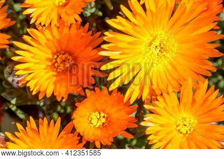 Noon Flowers In Bloom. Santa Cruz, California, Usa.