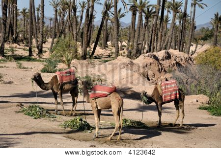 Camels Waiting For Tourists In Marrakech