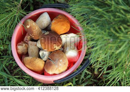Bucket Full Of Different Edible Mushrooms Under A Pine Tree Top View. Gourmet Forest Food