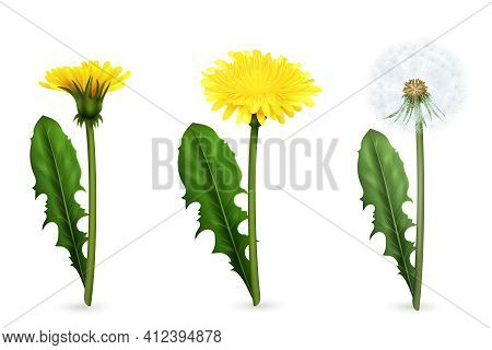 Set Of Realistic Images Of Yellow And White Dandelion Flowers With Leaves In Different Stages Of Flo