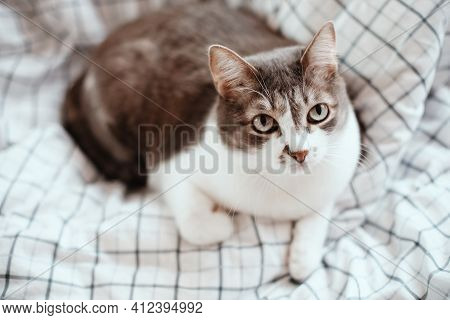 The Cat Looks Up At The Camera With Interest. A Noble And Well-groomed Pet Lies Alone On A Blanket A