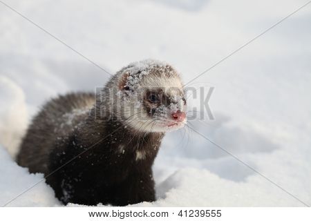 Mustela putorius furo, walking in the snow poster