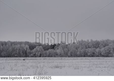 Winter Landscape In Overcast Day. Snowy Field And Forest With Trees In Hoarfrost Under Grey Sky.