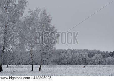 Birch Trees Covered By Hoarfrost On The Background Of Forest. Winter Landscape