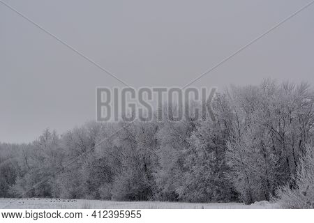 Trees Covered By Hoarfrost On The Edge Of Forest In Winter Overcast Day