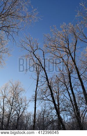 Winter Landscape. Oak Trees Covered By Hoarfrost On The Background Of Blue Sky.