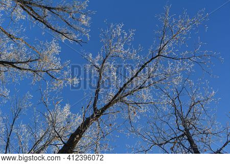 Beautiful Landscape With Tree Tops In Hoarfrost On The Background Of Clear Blue Sky. View From Below