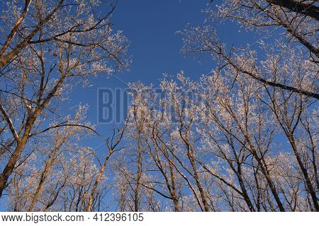 Winter Forest On Sunset. Oak Trees Covered With Hoarfrost In January.