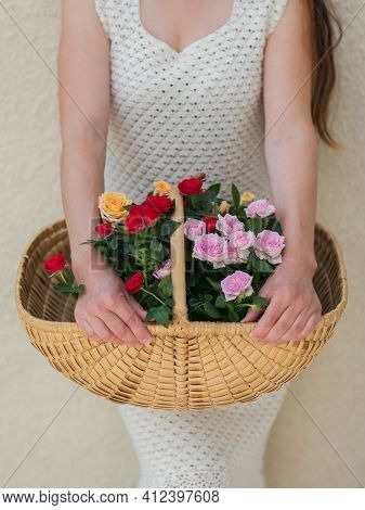 Blooming Rose In A Basket In Female Hand. Gardening Concept.