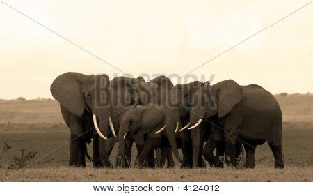 Elephant herd in Amboseli National Park Kenya poster
