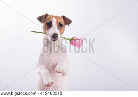 Jack Russell Terrier Holds Flowers In His Mouth On A White Background. A Dog Gives A Romantic Gift O