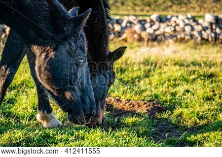 Blind Horse. Eye Cataract. Two Horses Grazing On The Meadow In Sunny Day In Switzerland. Unhealthy A