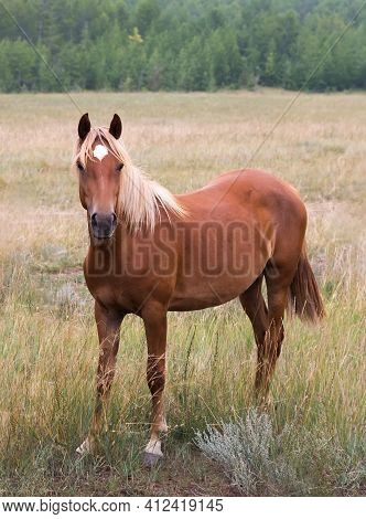 Wild Red Or Brown Horse Standing In The Field