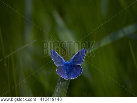Polyommatus Cyaniris Semiargus, Blue Mazarin. Butterfly Sits On Green Meadow Grass. Natural Blurred