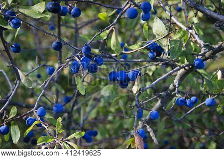 Blue Forest Berries On A Branch With Leaves. Close-up Of Wild Growing Blueberry Bush With Berries. F
