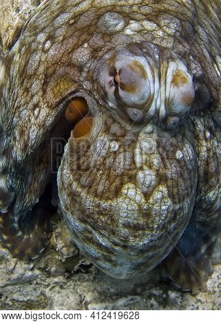 The Octopus Hid Its Tentacles And Acquired A Color And Texture Similar To Stone. Trying To Hide From
