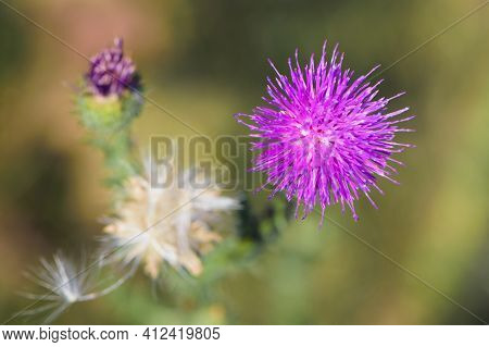Carduus. Thistle Spiny Wildflower Close Up. Violet Flowering Welted Thistle Or Carduus Crispus Plant