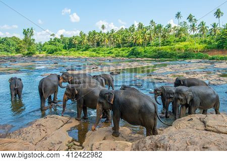 Elephant Orphanage In Pinnawala Is Nursery And Captive Breeding Ground For Wild Asian Elephants In S