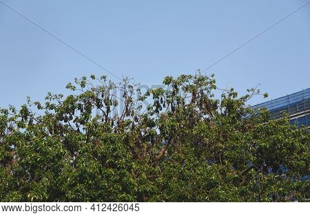 The Unique Juxtaposition Of Hundreds Of Wild Fruit Bats Hanging From Trees In Front Of  Modern Build