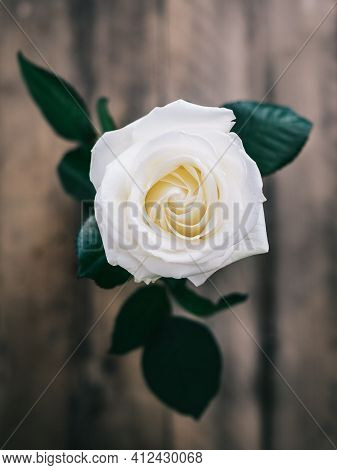 White Rose With Water Droplets Beautiful White Flower With Leaves Close Up Natural Floral Blossom Va
