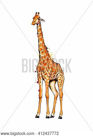 Giraffe From A Splash Of Watercolor, Colored Drawing, Realistic. Vector Illustration Of Paints