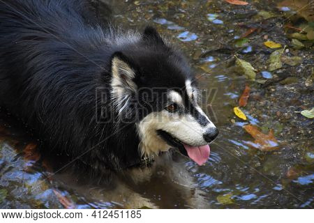 Siberian Husky Dog Wading In Shallow Water And Cooling Off.