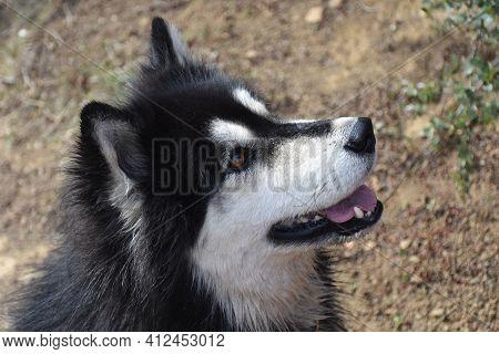 Sweet Alaskan Malamute Husky Cross Breed Dog Sitting.