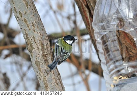 The Great Tit. Bird During A Cold Winter.