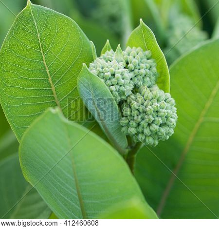 Beautiful Branch With Buds Collected In A Spherical Inflorescence With Beautiful Fresh Leaves