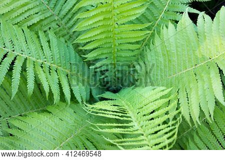 Fern. Green Fern Leaf Close-up Beautiful Background Of Young Green Fern Leaves. Wildlife Concept.