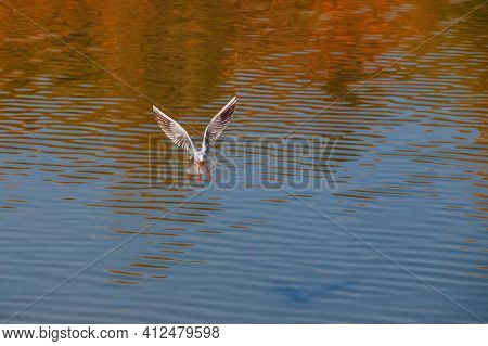 A Seagull Flies Over The Surface Of The Pond. A Seagull Fluttering Its Wings. Front View Of A Seagul