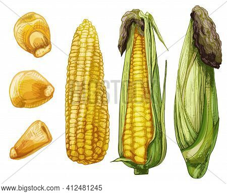 Set Ripe Cob Of Corn From Cleaned To Closed And Separately Grains. Different Degree Of Purification