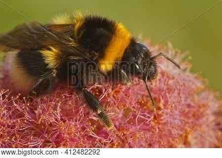 Closeup On A Queen Of  Garden Bumblebee Or Small Garden Bumblebee, Bombus Hortorum.