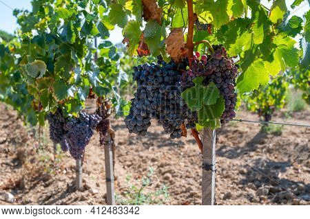 Ripe Black Or Blue Syrah Wine Grapes Using For Making Rose Or Red Wine Ready To Harvest On Vineyards