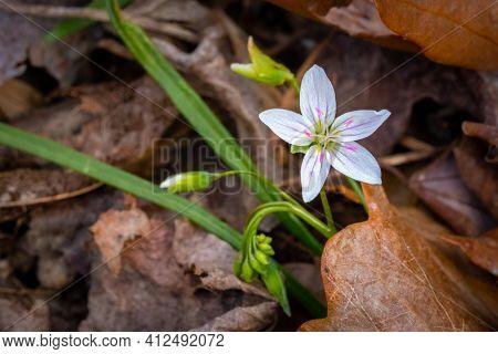 Virginia Spring Beauty (claytonia Virginica) In Bloom In Early Spring. Raleigh, North Carolina.