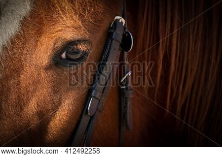 Close Up Of A Horse's Head, With Focus On His Calm Trusting Eye.