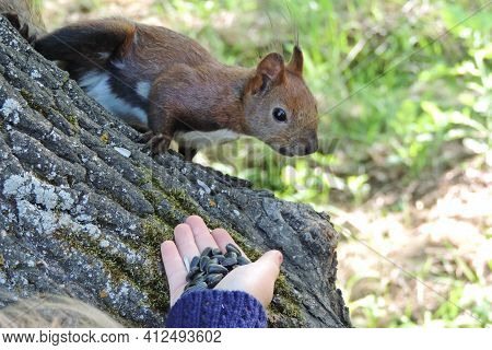 Holding Out A Hand With Seeds To  Squirrel. A Squirrel  Nibbles Seeds. Small Rodent.
