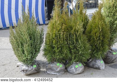 Many Thujas Tree With Bare Roots For Planting.  Seedlings Of Thuja And Juniper With Price Tags. Insc
