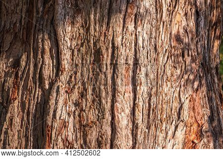 Texture Of The Bark Of Giant Sequoiadendron Tree. Sequoiadendron Giganteum Or Giant Sequoia, Or Gian