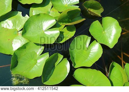 Vibrant Green Lily Pads Of Nymphaea Tubtim Siam Or Ellisiana Hardy Waterlily In The Pond