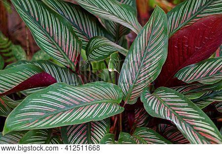 Closeup Dark Green With White And Pink Stripes Leaves Of Calathea Sanderiana Or Pinstripe Calathea
