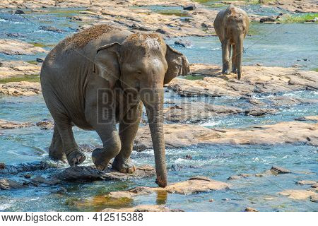 Wild Asian Elephant Crossing Downstream The River In Pinnawala Village Of Sri Lanka. Pinnawala Has T
